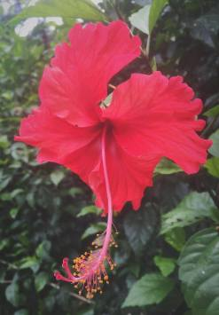 The famous hibiscus flower.