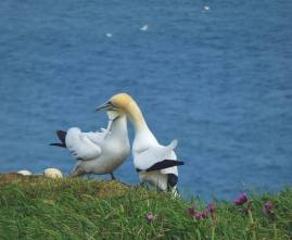 Nope, it looks like another Gannet is beneath them.