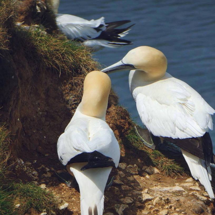 A close-up of which compliments the beauty of the Gannet.